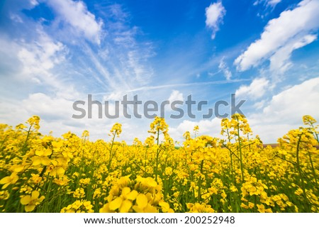 happy summer day - rape field - stock photo