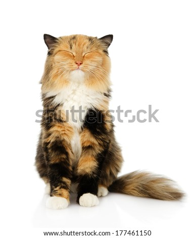 happy tricolor cat sitting in front. isolated on white background - stock photo