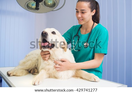 Happy veterinarian or doctor checking up golden retriever dog at vet clinic