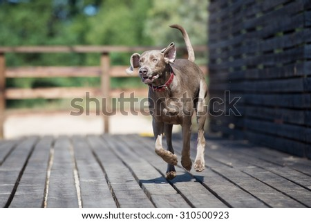 happy weimaraner dog running outdoors