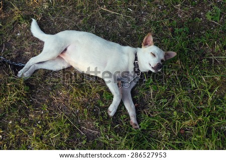 Happy white dog in collar with chain lying on the green grass.