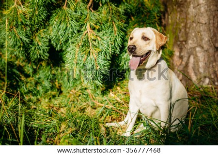 Happy White Labrador Retriever Dog Sitting In Grass, Forest Park Background. - stock photo