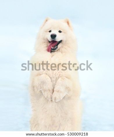 Happy white Samoyed dog in winter on snow stands on its hind legs