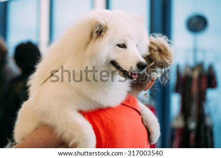 Happy White Samoyed Dog Puppy sits in the hands of owner