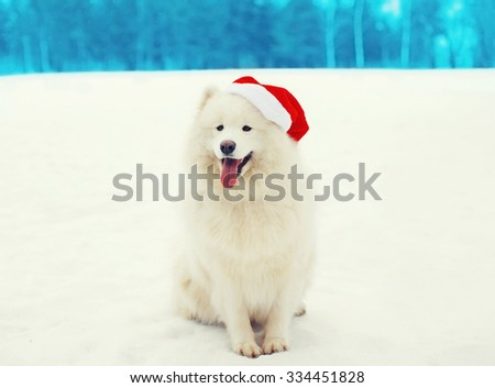 Happy white Samoyed dog wearing a red santa hat on snow in winter day - stock photo