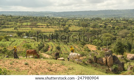 Harar, Ethiopia, July 27: Pastoralists from the Harar region of Ethiopia bring their cattle to graze near the fields just outside of the city of Harar, July 27, 2014, Harar, Ethiopia - stock photo