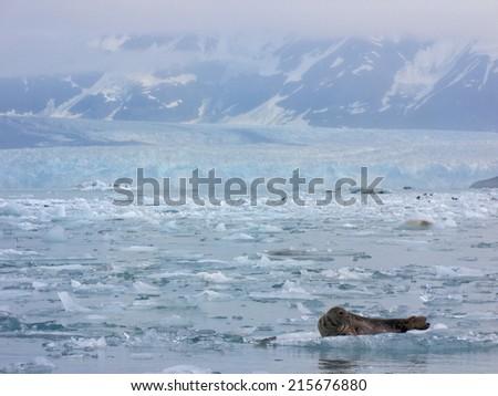 Harbor seal near a melting glacier, Yakutat Bay, Alaska - stock photo