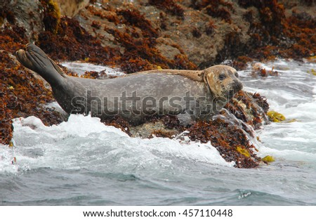 Harbor Seal on a Rock