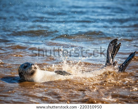 Harbor seal swimming back freestyle in the blue water on sunny summer day. Animal themes. Wildlife. Selective focus