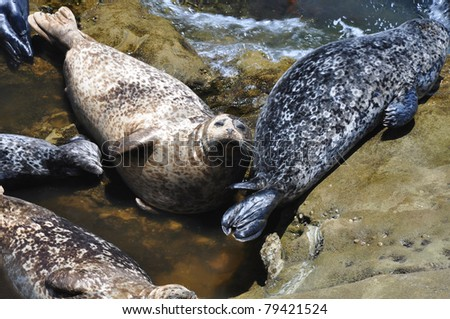 Harbor seals lounge on the rocks at Children's Pool beach in La Jolla, California. - stock photo
