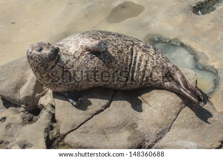 Harbor Seals (Phoca vitulina richardsi), in La Jolla Cove, La Jolla, California, USA