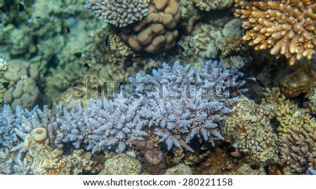 Hard blue corals closeup. Red sea coral reef. black and white chromis dimidiata swimming around - stock photo
