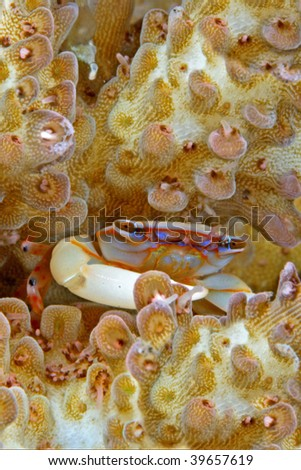 hard corals crab, very tiny about 1cm body width, - stock photo