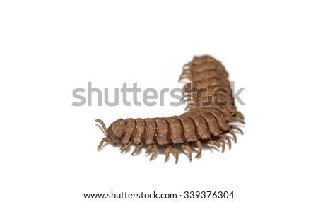 Hard skin millipede ( Polydesmidae ) on white background - stock photo