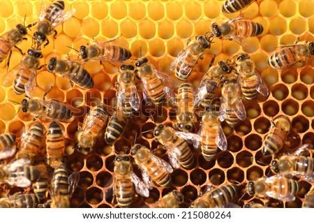 hardworking bees on honeycomb - stock photo