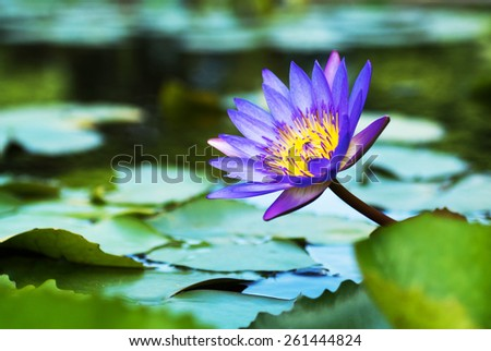 Hardy Waterlily in nature pool .