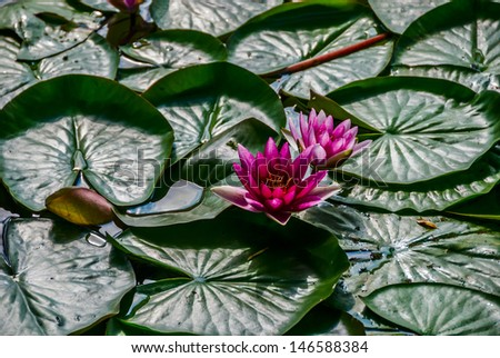 """Hardy Waterlily (Nymphaea) """"Almost Black"""" - stock photo"""