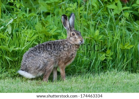 Hare in the garden