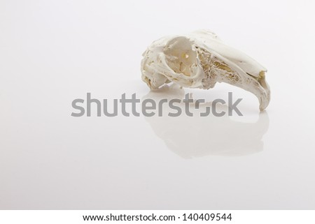 Hare skull on white background