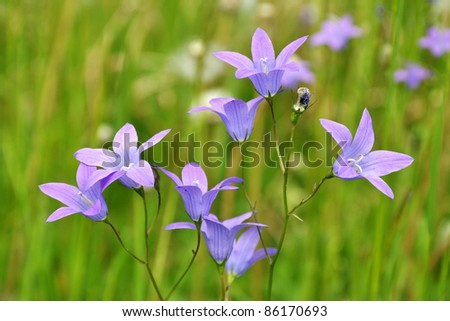 Harebell wildflowers - Campanula rotundifolia in the meadow - stock photo