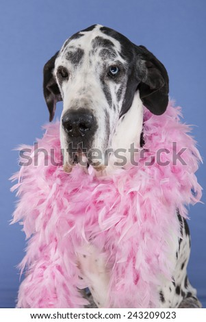 harlequin female Great Dane sitting head shot isolated on blue background. One eye of each color, blue and brown