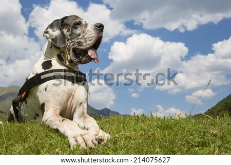 harlequin great dane lying on the field, and summer freedom