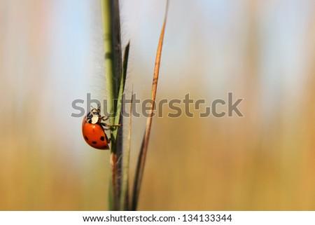 Harlequin ladybird (Harmonia axyridis) - stock photo