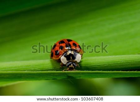 harlequin ladybird macro crop - stock photo