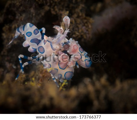 Harlequin shrimp (Hymenocera elegans) in the Lembeh Straits, North Sulawesi, Indonesia
