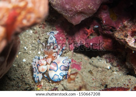 Harlequin shrimp  _ Hymenocera picta Dana