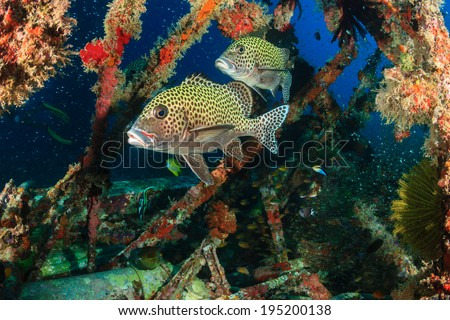 Harlequin Sweetlips being cleaned by Wrasse on an underwater wreck - stock photo
