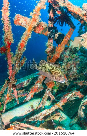 Harlequin Sweetlips on an underwater wreck