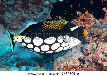 Harlequin Triggerfish underwater close up portrait - stock photo