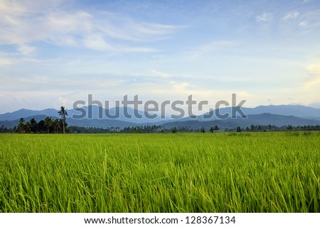 Harmonic view of a paddy field in Borneo, Sabah, Malaysia