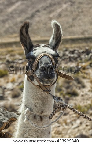 Harnessed llama working on the Pampas in Peru - stock photo