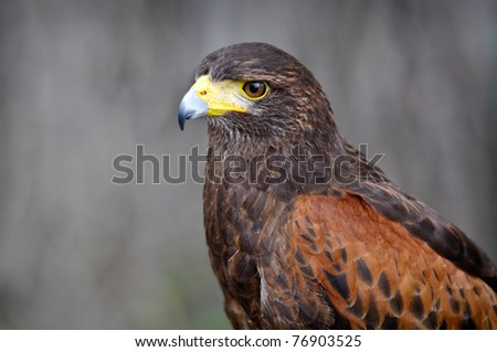 Harris Brown Hawk Portrait - stock photo