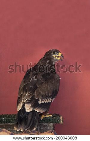Harris eagle - stock photo