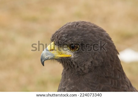 Harris Eagle, Buzzard Harris. - stock photo