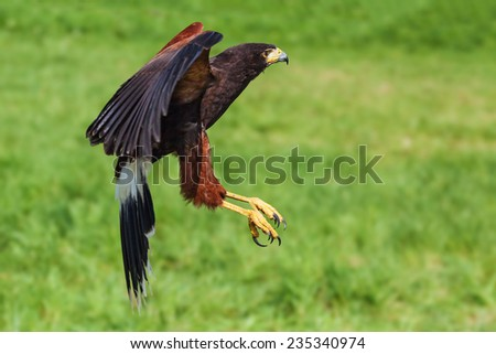 Harris Hawk coming in to land. A Harris hawk is seen passing the camera as it prepares to land. - stock photo