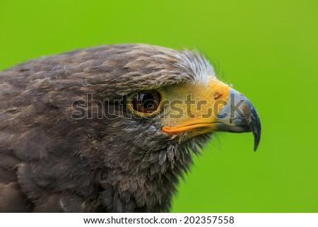 Harris hawk in detail - stock photo
