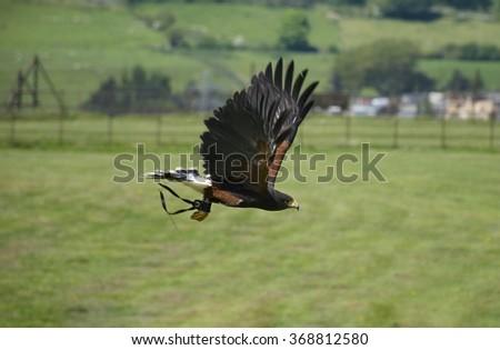 Harris Hawk in flight in bird show - stock photo