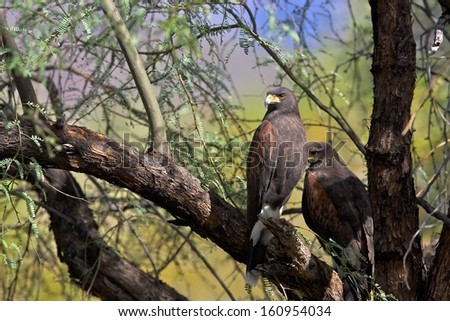 Harris Hawk in Saguaro national park - stock photo