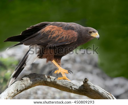 Harris Hawk Lands on Log.