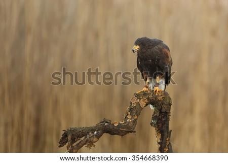 Harris hawk looking for prey - stock photo