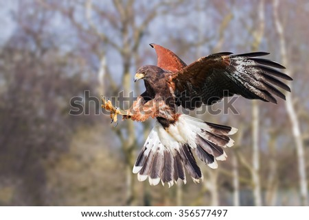 Harris Hawk on the attack. A determined Harris hawk extends its talons as it prepares to make a grab.