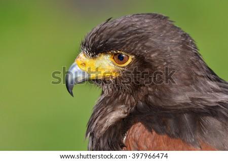 Harris hawk, Parabuteo unicinctus - stock photo