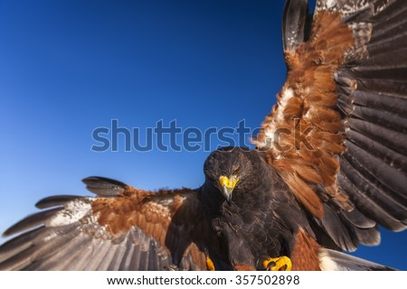 Harris Hawk, Parabuteo Unicinctus, in flight and landing. Bird of prey native to the southwestern United States of America south to Chile and central Argentina. - stock photo