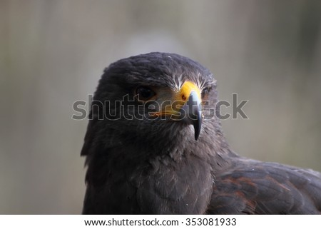Harris Hawk Parabuteo unicintus bird of prey