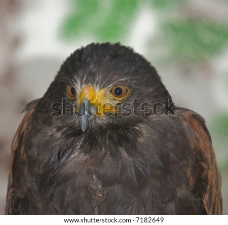 Harris Hawk (Parabuteo Unicintus) - landscape orientation - stock photo