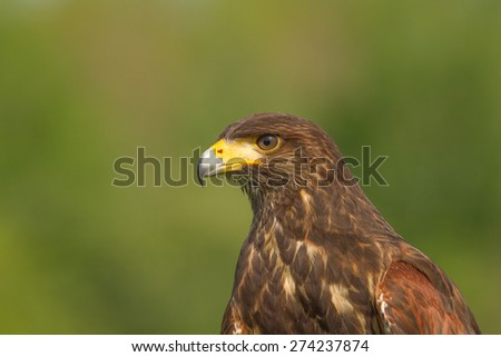 Harris Hawk Portrait - stock photo